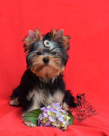 Yorkshire Terrier Puppies Girls and boys available. They have been ch