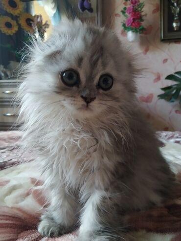 Коты - Беловодское: Скоттиш-страйт
