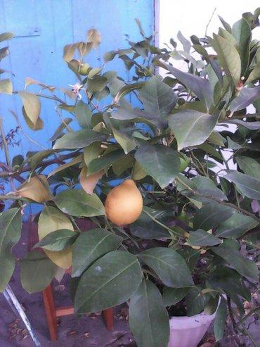 Лимон с тонкой кожицей. Дереву 20 лет в Бишкек