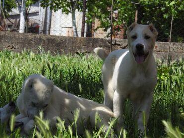 Srednjeaziski ovčari štenci Štenci od tri meseca otac Radenko