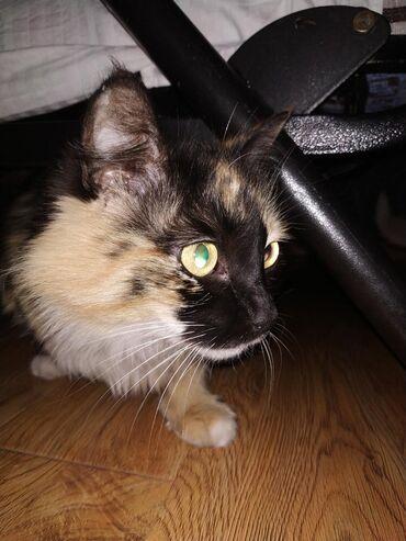 Коты - Кыргызстан: Трёхцветная пушистая кошка Тася ищет дом. Ласковая. Возраст 3-4 года