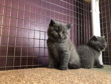 Βρετανικό γατάκι Blue Shorthair για υιοθεσίαΈχουμε αρσενικό και θηλυκό