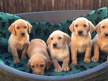 Labrador Retriever puppies for sale WhatsApp + 32 We have male and fem