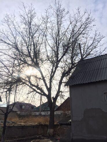 ствол грецкого ореха в Кыргызстан: Ореховый ствол 20-15м