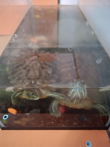 Продам двух красноухих черепах вместе с аквариумом и кормом за одну
