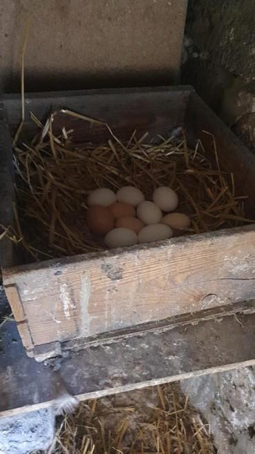 fireng - Azərbaycan: Rod Aylend,Liqorin,Kənd Toyugu,sesar,fireng tam mayali yumurta.Günə