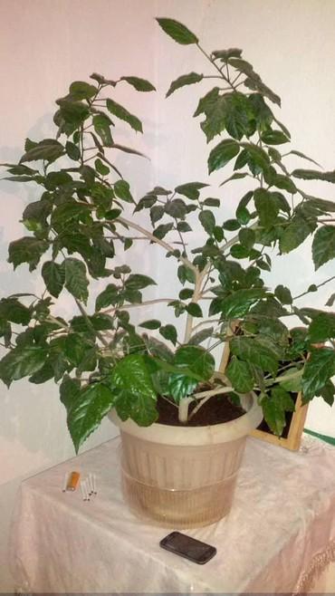 Комнатные растения в Кок-Ой: Другие комнатные растения