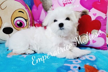 Maltese Dogs and Puppies for sale σε Athens