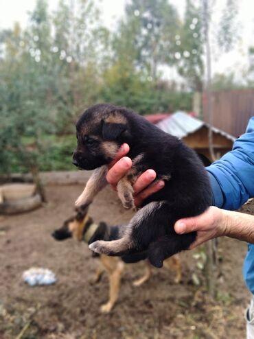 afcarka balalari satilir - Azərbaycan: Afcarka balalari satilir ata anasininda wekil vidyolari var