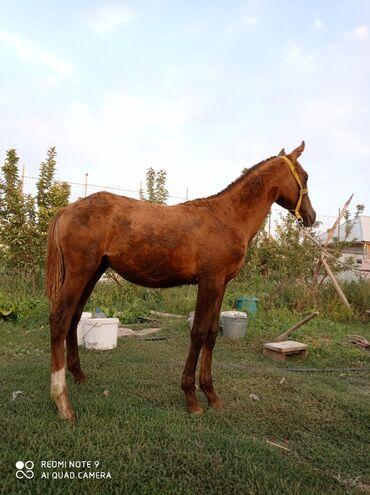 Продаю | Жеребенок | Дончак | Конный спорт | Племенные