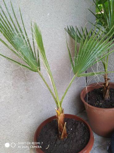 Комнатные растения - Беловодское: Продаю пальмы Вашингтония