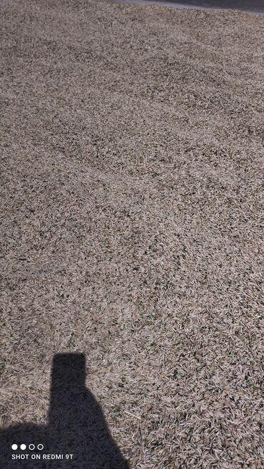 Животные - Чон-Далы: Сулуу сатылат!!! Продаю овёс 27 сом