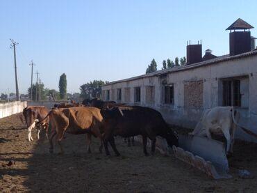 Животные - Маловодное: Продаем коров 14 голов,большие,молочные,молодые в основном 3-4 отел, ц