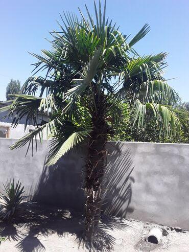 Otaq bitkiləri - Ağdaş: Palma