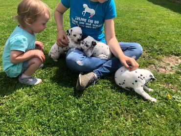 Dalmatian puppies for sale WhatsApp + 32 We have male and female Dalma
