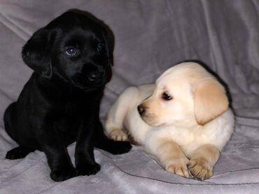 Όμορφα και όμορφα κουτάβια Labrador Retriever είναι έτοιμα για την