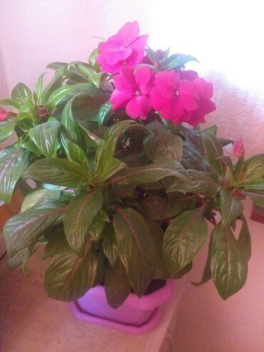 2 комнатные квартиры в бишкеке в Кыргызстан: Комнатные цветы .Бальзамин