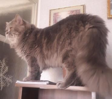 Добрый кот породы скоттиш страйт ищет подружку. Окрас серый