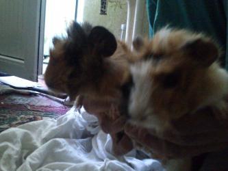 Морские свинки в Кыргызстан: Продаются морские свинки - мальчики . 1шт - 400 сом