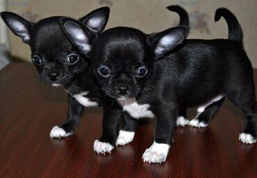 Приму в дар или куплю недорого собачку чихахуа