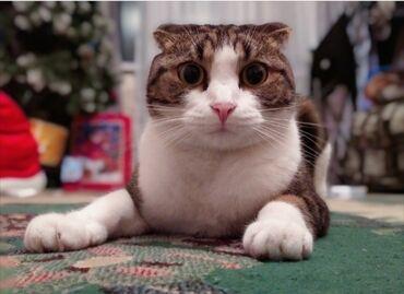 Коты - Кыргызстан: Продаю кот. срочна порода вислоухая паспорт есть коту 3 года