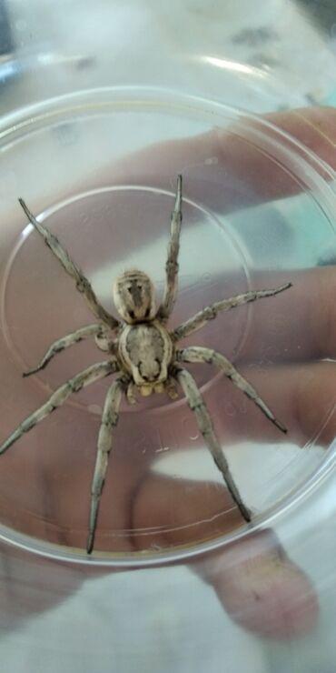 Продаю тарантула