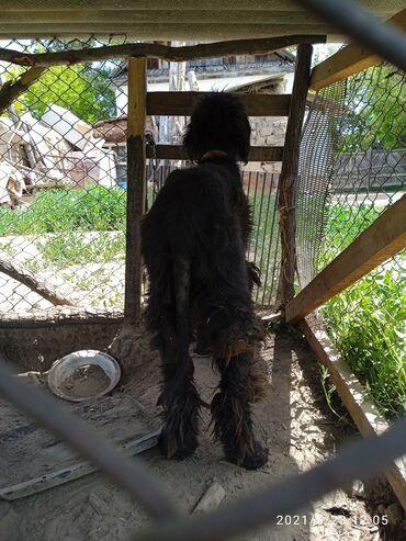 Животные - Тюп: Продаётся чистокровный тайган бевочка 8 месяцев. Обмен интересует