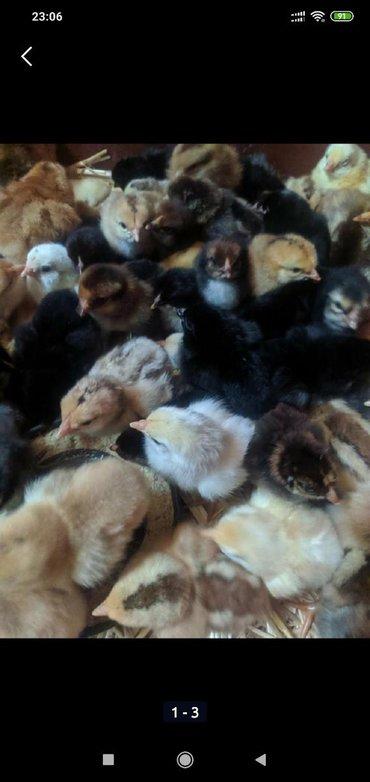 Продаю домашние цыплята суточные 25с, недельные 35с, двух недельные