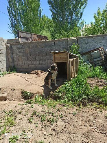 в Кызыл-Суу: Сатылат алабай ургаачы 15000 сом кызылсуу айылында
