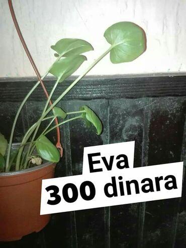 Na svakoj slici stoji cena i naziv biljke. Prvi cvet neki kažu da je