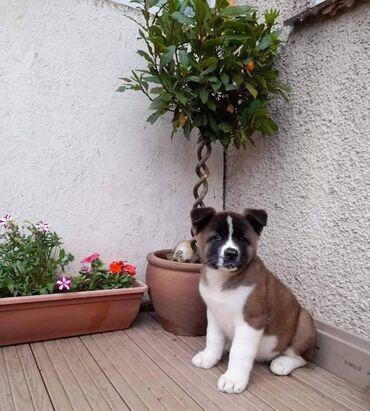 Na prodaju zdravi štenad AkitaSuper preslatki štenci Akite. Tako