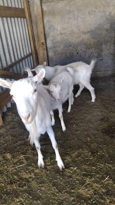Продаю | Коза (самка) | Зааненская | Для разведения, Для молока | Племенные