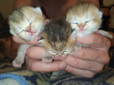 Открыт резерв на замечательных котят Порода: Scottish fold