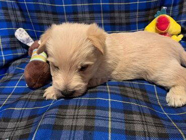 Scottish terrierScottish Terrier puppies with excellent character