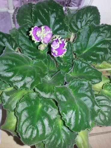 Otaq bitkiləri Şəkida: Fialka. muxtelif renglerde var