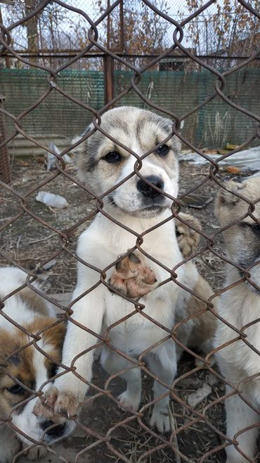 Продаем щеночков чистопородных в Кок-Ой