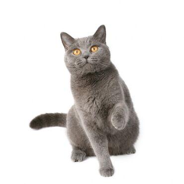 Коты - Кыргызстан: Ищем британца или шотландца кота для вязки в городе Кара Балта