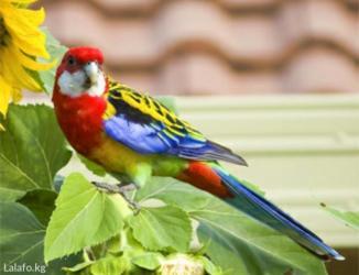 Попугаи разные в Кара-Балта