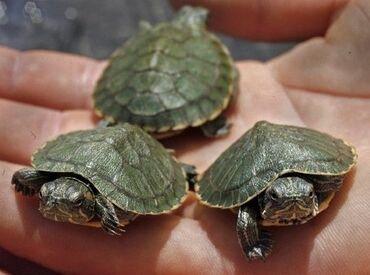 2098 oglasa   KUĆNI LJUBIMCI: Vodene kornjace