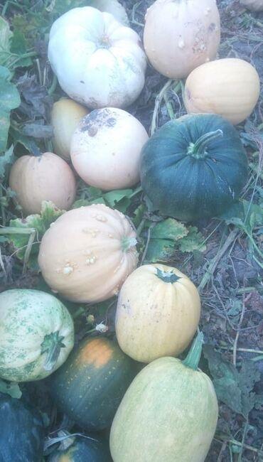 Семена и уличные растения - Кара-Балта: Прдоется тыква кормовая  Цена 1 кг 6 сом  Г Кара-Балта