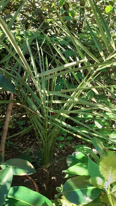 Otaq bitkiləri - Masallı: Başqa xurma ağaclarda vardır