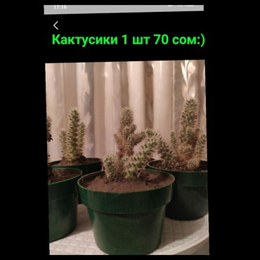 Мини кактусики 1 шт 70 в Бишкек