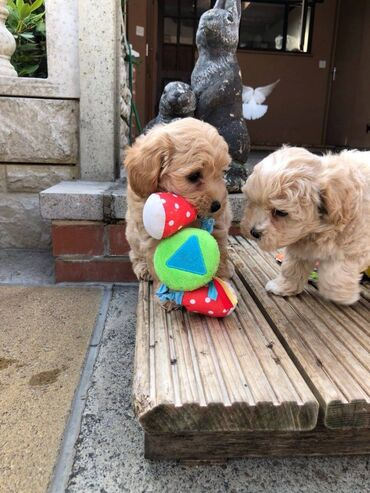 Maltipoo puppies for sale We have Maltipoo puppies for sale and ready