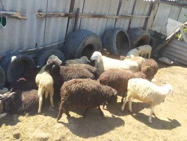 Продаю 24 козы, 4х месячные. Каракол