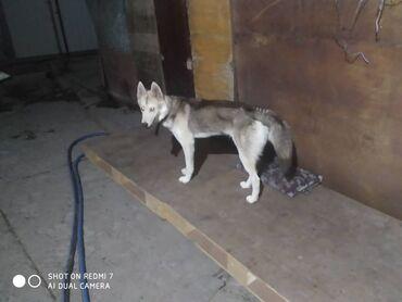 пропала собака хаски в Кыргызстан: СРОЧНО! Хаски пропал! Новопокровка. 2сентября 2020 года ПРОПАЛ хаски С