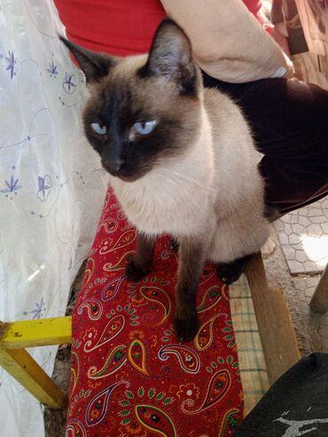 42 объявлений | ЖИВОТНЫЕ: Продаю сиамку кошку стирильная ходит в латок продаю не дорогоПишите