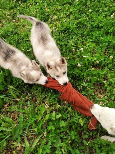 Животные - Токтогул: Куплю щенка хаски по дешевле