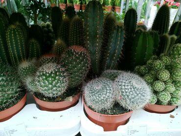 Kaktus - Azərbaycan: Кактусы.Производитель: Нидерланды.Цены: 25 азн.Онлайн заказы: WhatsApp
