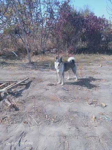 Лайка сибирский 1.5 лет собака