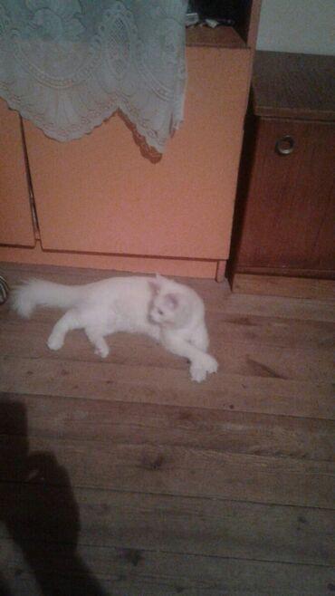 Коты - Азербайджан: Коты